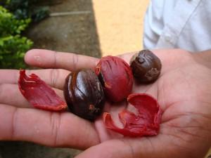 Nutmeg, mace and kernel