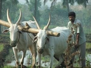 Preparing paddy field, en route to Somnathpur
