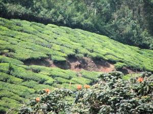 Tea plants, Munnar