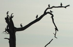 Cormorants on a dead tree